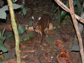 Mouse Deer 3 Creative Commons