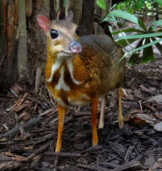 Mouse Deer 4 Creative Commons
