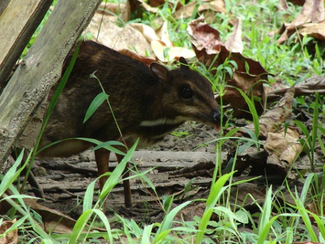 Mouse Deer Creative Commons